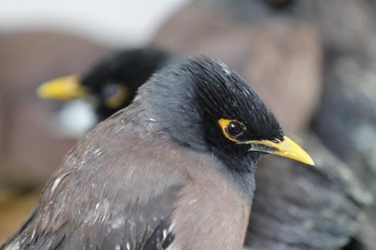 Vanda ticareti yasak 75 kuş ele geçirildi