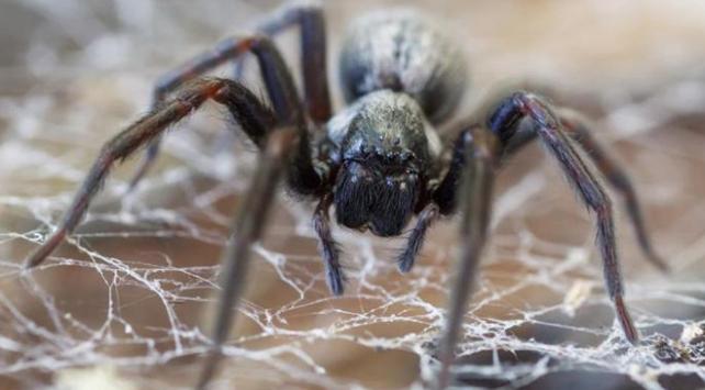 Avustralyada bu kez de zehirli örümcek krizi