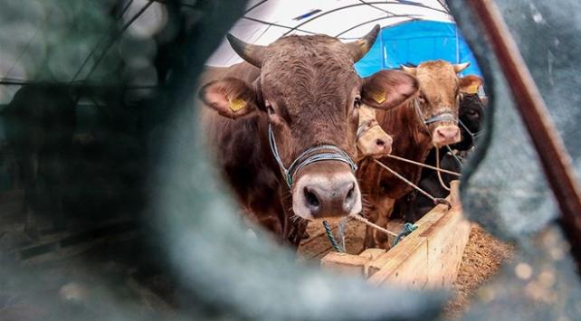 Canlı hayvan ithalatına fren