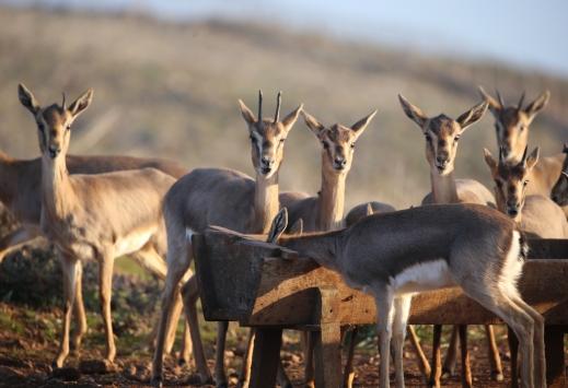 Hatayda gazella gazella popülasyonunda artış