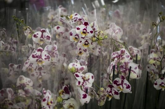 """Çiçekçilerden 2 milyon orkideyle """"Sevgililer Günü"""" hazırlığı"""
