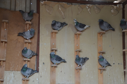 Evinde beslediği posta güvercinlerini yarışlara hazırlıyor