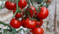 Rusya'ya 2019'da yapılan domates ihracatı 86 milyon doları aştı