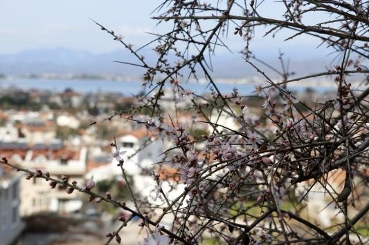 Muğlada ağaçlar çiçek açtı