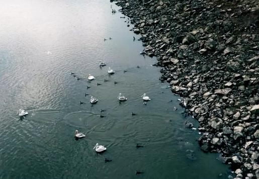 Pelikanlar Kocadere Göletinde güzel görüntüler oluşturdu