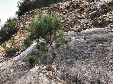 Antalyada kaya içinde yetişen çam fidanı şaşırtıyor