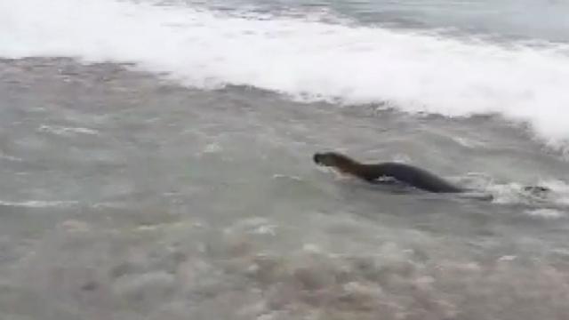 Antalya'da Akdeniz foku görüntülendi