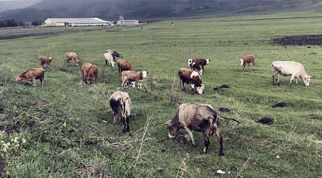 Iğdırda hayvan pazarı şap hastalığı nedeniyle kapatıldı