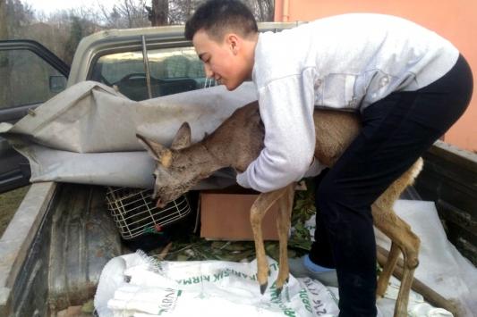 Orduda öğrencilerin köpeklerden kurtardığı karaca tedaviye alındı