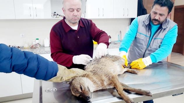 Bursada yaralı çakal tedavi altına alındı