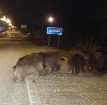 Banazda yiyecek bulamayan yaban domuzları ilçe merkezinde görüldü