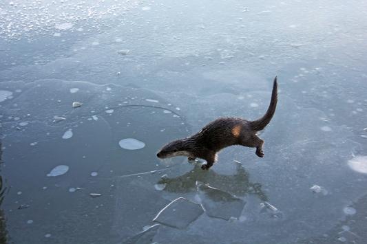 Sivasta yüzeyi buzla kaplı gölde su samuru görüntülendi