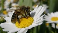 Arı Olmazsa Doğal Saatleri Geri Kalıyor
