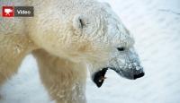 Kutup Ayısı 1 Kişiyi Öldürdü