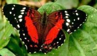 Şekil Değiştiren Kelebek Kuşlara Yem Olmuyor