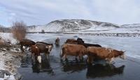 Kars'ta besiciler çaydaki buzları kırarak hayvanlarına su veriyor