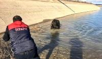 Şanlıurfa'da sulama kanalına düşen inek kurtarıldı