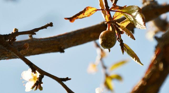 Manisada çiçek açan ağaçlar meyve vermeye başladı