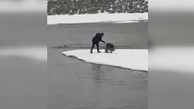 Ağrı'da buz kütlesi üzerinde mahsur kalan kurt kurtarıldı