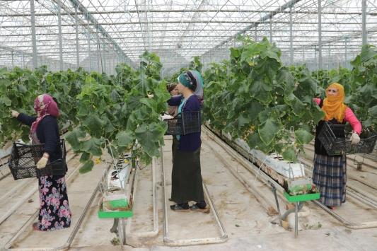 Vanda eksi 46 dereceye rağmen jeotermal serada salkım domates yetiştiriliyor