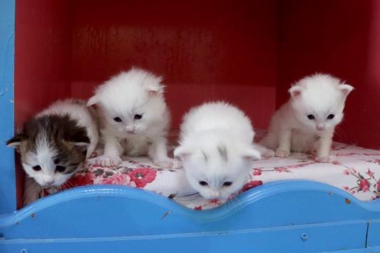 Van kedileri, 2020nin ilk yavrularını dünyaya getirdi