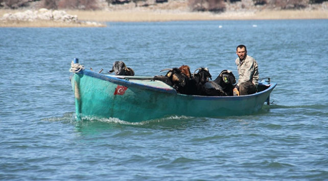 Kış mevsimini adalarda geçiren keçilerin dönüş yolculuğu