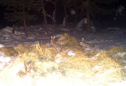 Kütahyada kızıl geyiklerin beslenme anları fotokapanla görüntülendi