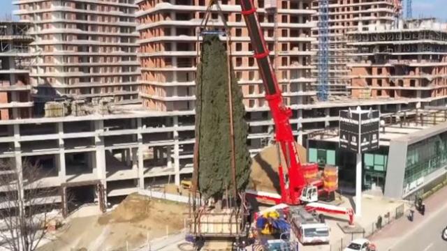 55 yıllık ağaç cami bahçesine taşındı