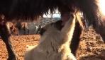 Annesi ölen yavru köpeğe keçi annelik yapıyor