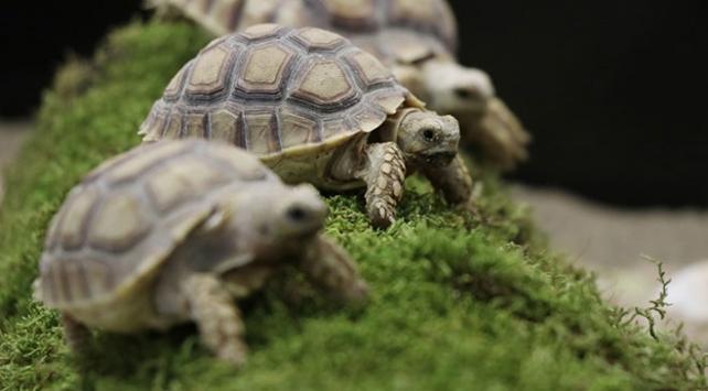 Timsah yiyen kaplumbağalara 15 gün karantina