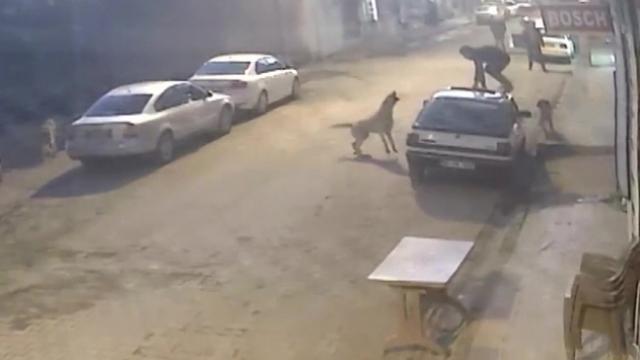 Köpekler saldırdı, aracın üzerine çıkarak kurtuldu