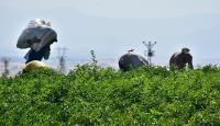 Tarım işçilerinin günlük ücreti arttı