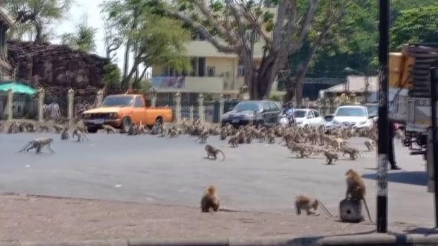 Koronavirüs nedeniyle boşalan sokakları maymunlar bastı
