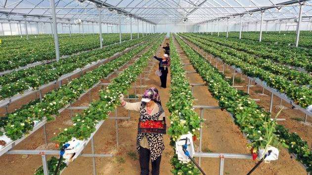 Aydında 3 kadın girişimci kurdukları topraksız serada çilek yetiştiriyor