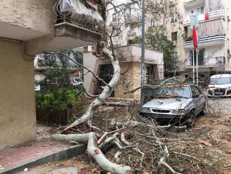 Manidada 250 yıllık çınar ağacı devrildi