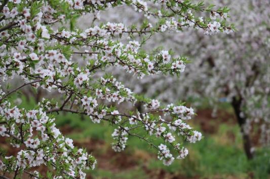 Adıyamanda badem ağaçları çiçek açtı