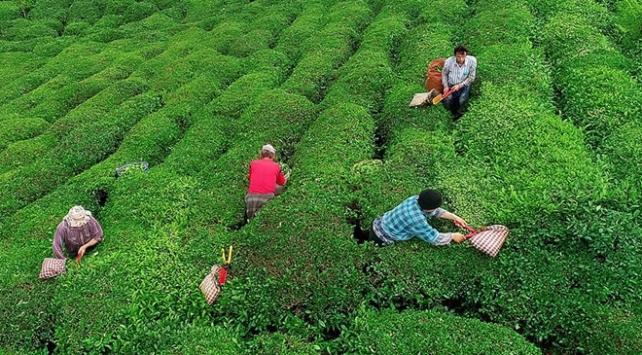 Yaş çay destekleme primleri ödeniyor