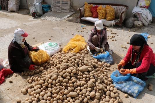 Sandıklıda 30 bin dekara patates ekimi