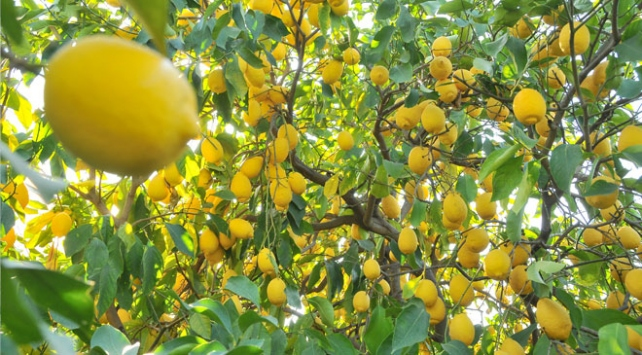 Koronavirüs limona talebi artırdı