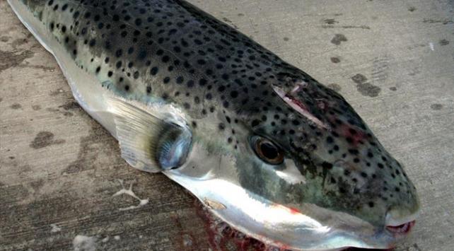 Balon balığı avlama izni her isteyene verilmeyecek