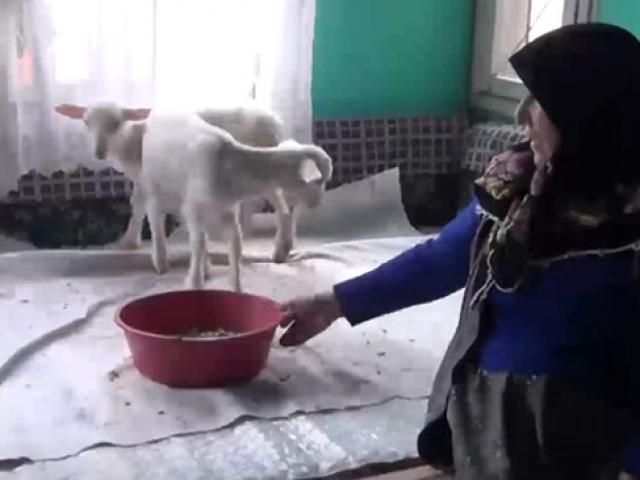 112yi aradı, kuzularına yem istedi