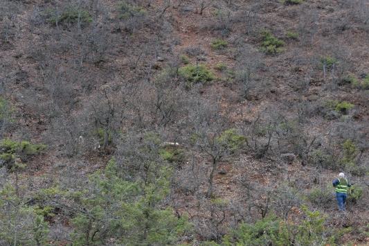 Koruma altındaki vaşak, çoban köpeklerinin saldırısından ağaca tırmanarak kurtuldu