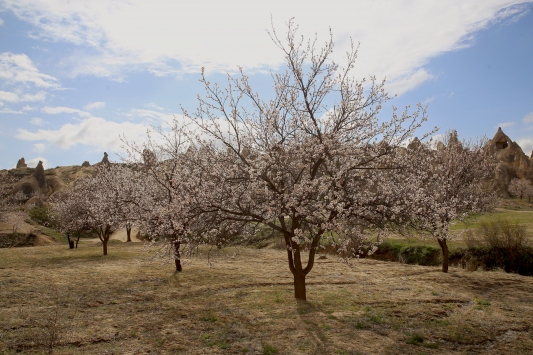 Çiçek açan kayısı ve badem ağaçları Kapadokyaya renk kattı