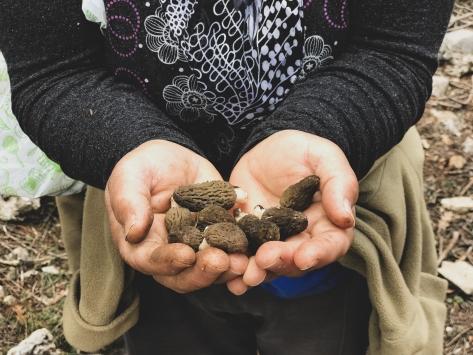 Kilosu 200 liradan satılan kuzugöbeği mantarı geçim kapısı oldu