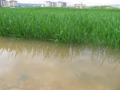 Gaziantepte etkili olan yağışlar tarım alanlarına zarar verdi