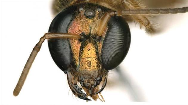 Yarısı erkek yarısı dişi arı keşfedildi