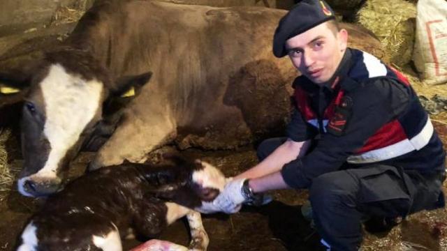 Veteriner gecikince ineğin doğumunu jandarma yaptırdı