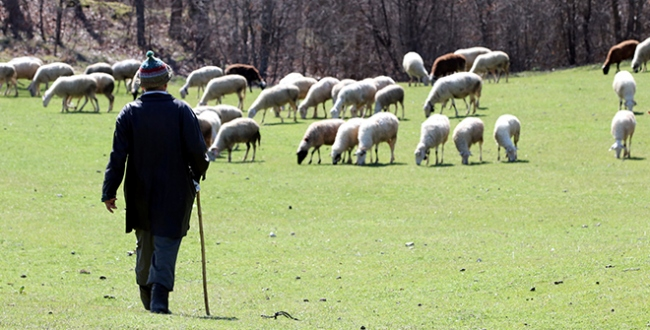 Çoban destek ödemeleri bugün hesaplarda