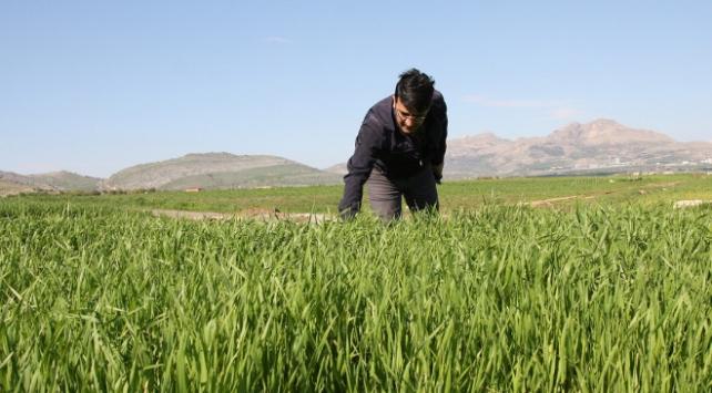 Buğdayda sarı pas hastalığına karşı uyarı