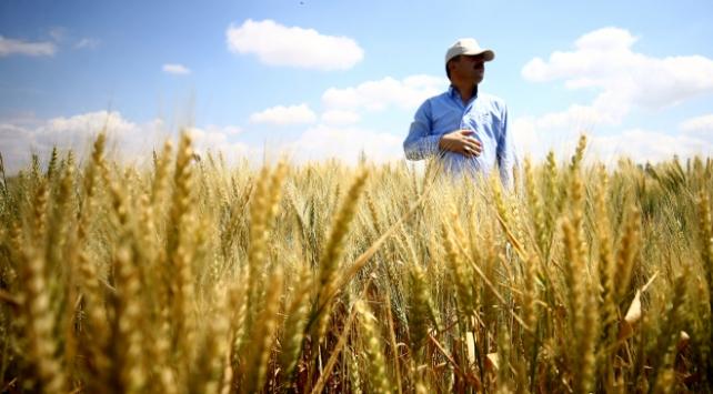 Bu yıl buğday üretiminde artış bekleniyor